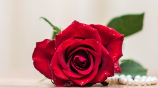 Gift Romance Romantic Love Flower Rose Petal